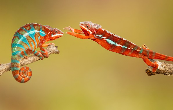 Картинка хамелеон, chameleon, обнимашки, hugs, Milan Zygmunt, Chamaeleonidae