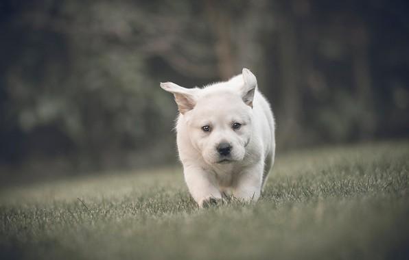Картинка трава, взгляд, малыш, щенок, прогулка, мордашка, боке, пёсик