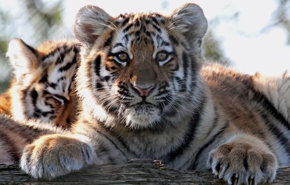 Картинка взгляд, тигр, портрет, лапы, детёныш, котёнок, мордашка, дикая кошка, тигрёнок