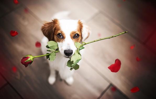 Картинка цветок, взгляд, роза, собака, лепестки, мордашка, поздравление
