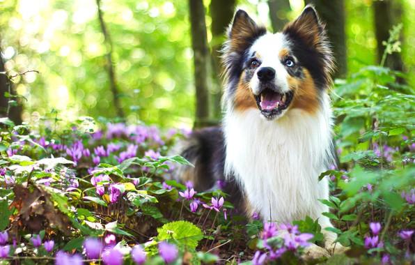 Картинка зелень, лес, взгляд, цветы, природа, поза, фон, поляна, собака, весна, щенок, боке, цикламены, бордер-колли, разноглазая