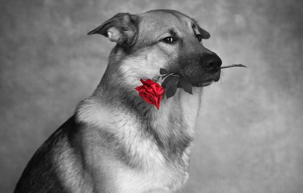 Картинка взгляд, фото, роза, собака, Nikita Tikkа