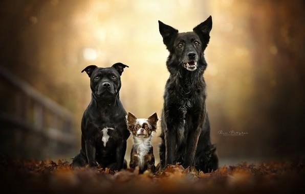 Картинка осень, собаки, листья, листва, портрет, трио, друзья, боке, Чихуахуа, троица, Американский стаффордширский терьер
