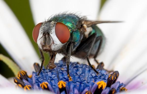 Картинка цветок, природа, муха