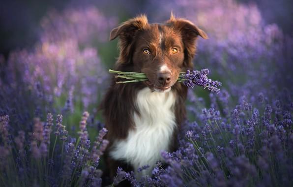 Картинка взгляд, природа, животное, собака, букетик, лаванда, пёс, бордер-колли