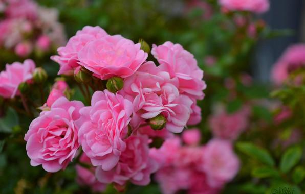 Картинка Розы, Roses, Pink roses, Розовые розы