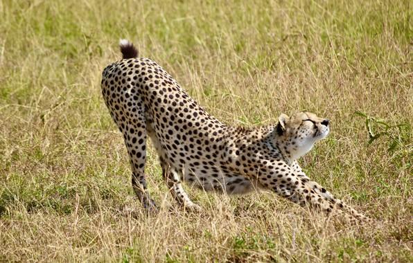 Картинка трава, природа, хищник, гепард, большая кошка, потягивается