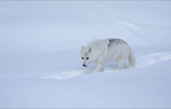Картинка winter, snow, wolf, step