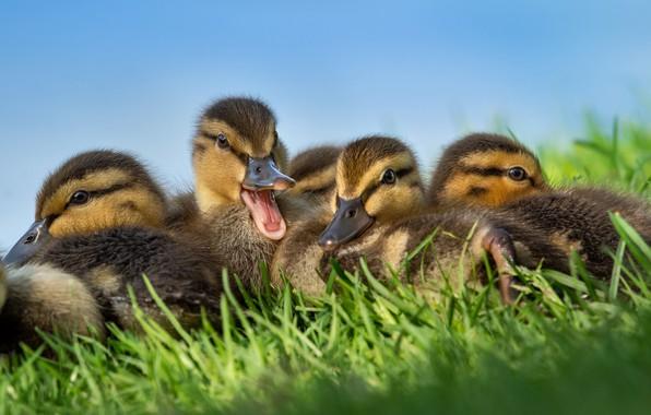 Картинка трава, птицы, утки, утята, птенцы