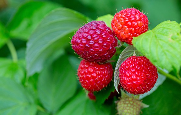Картинка зелень, лето, листья, макро, природа, ягоды, малина, фон, куст, ветка, красные, сочные