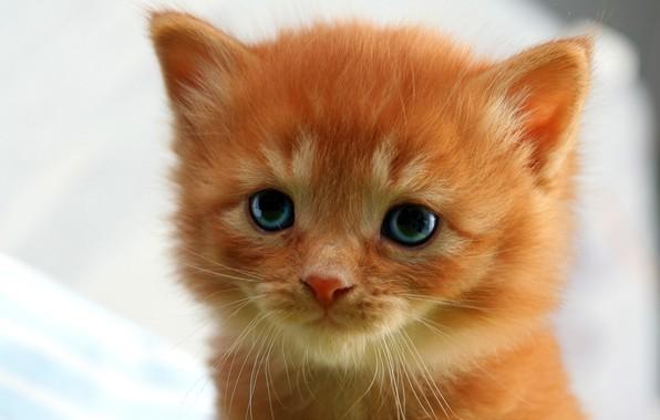 Картинка кошка, глаза, взгляд, крупный план, котенок, фон, портрет, светлый, рыжий, котёнок, мордашка, пушистик, милашка, лапочка, …