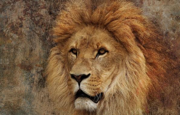 Картинка глаза, взгляд, морда, фон, портрет, обработка, лев, грива, царь зверей, дикая кошка, красавец, важный