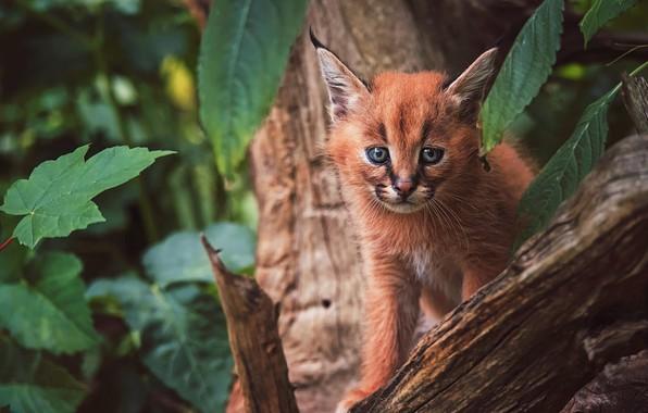 Картинка взгляд, морда, листья, природа, поза, фон, дерево, малыш, рысь, сидит, дикая кошка, каракал, рысенок, рысёнок