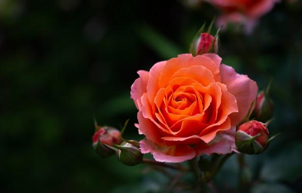 Картинка макро, фон, роза, лепестки, бутоны