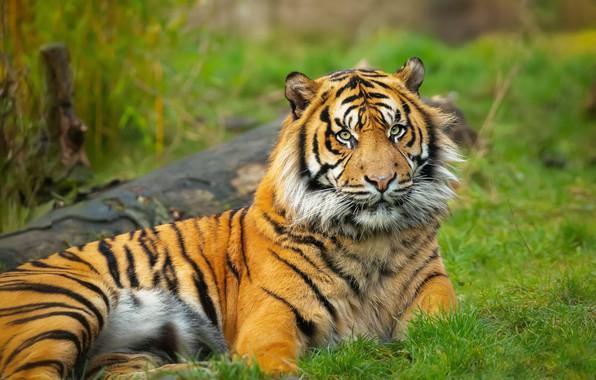 Картинка трава, тигр, поза, поляна, лежит, бревно, зеленый фон