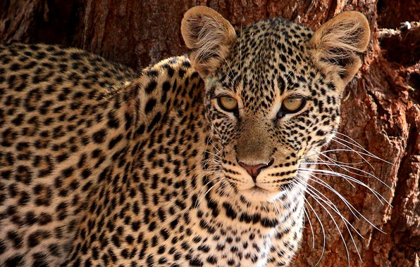 Картинка взгляд, морда, леопард, дикая кошка