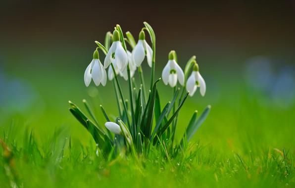Картинка зелень, трава, фон, весна, Подснежники