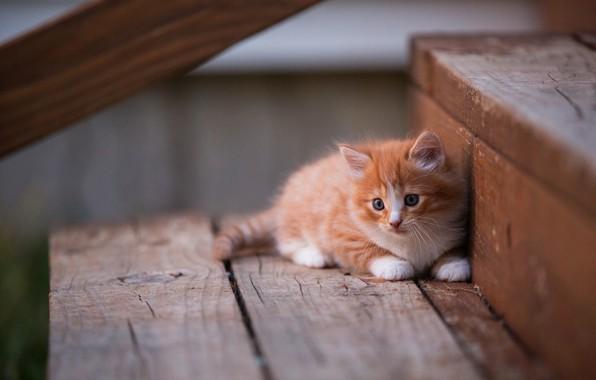 Картинка кошка, взгляд, поза, котенок, фон, доски, пушистый, маленький, рыжий, лестница, ступени, лежит, котёнок