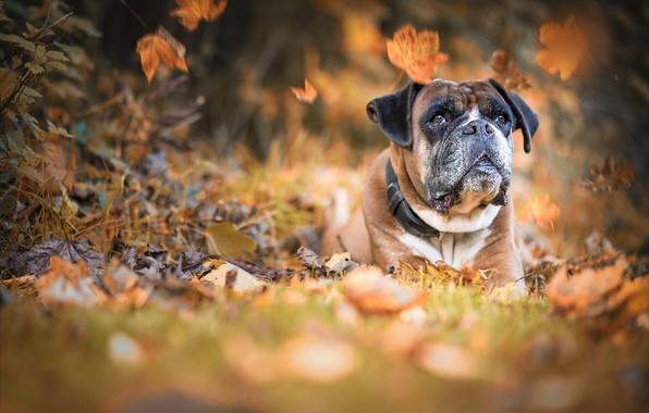 Картинка осень, морда, природа, животное, собака, листопад, пёс, боксёр