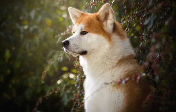 Картинка взгляд, морда, ветки, природа, зеленый, ягоды, фон, портрет, собака, плоды, профиль, рыжая, боке, сиба-ину, сиба