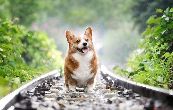 Картинка собака, пастух, Уэльс, вельш-корги