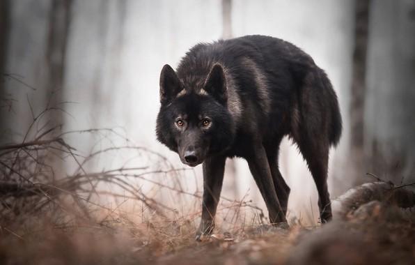 Картинка осень, лес, глаза, взгляд, морда, листья, деревья, ветки, поза, туман, стволы, черный, волк, собака, лапы, …