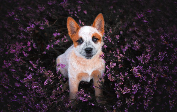 Картинка цветы, улыбка, поляна, собака, щенок, вереск