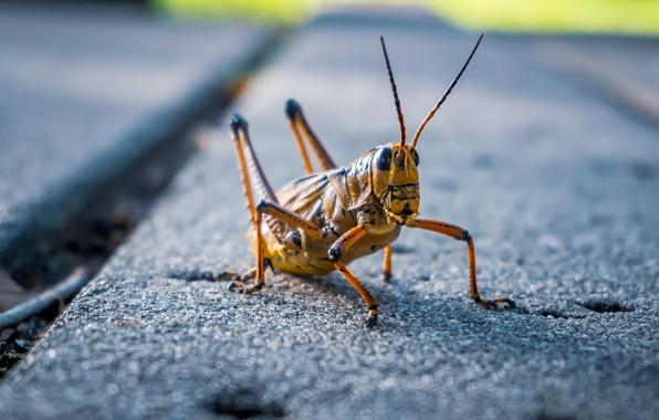 Картинка природа, насекомое, кузнечик