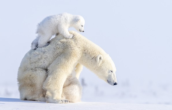 Картинка зима, животные, снег, хищники, медведи, медвежонок, детёныш, медведица