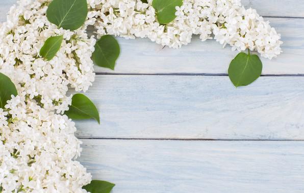 Картинка цветы, ветки, белая, white, flowers, сирень, spring, lilac