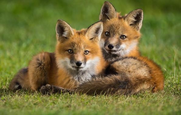 Картинка животные, трава, природа, пара, лисы, детёныши, лисята