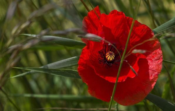 Картинка цветок, лето, трава, листья, макро, свет, красный, мак, маки, лепестки, зеленый фон