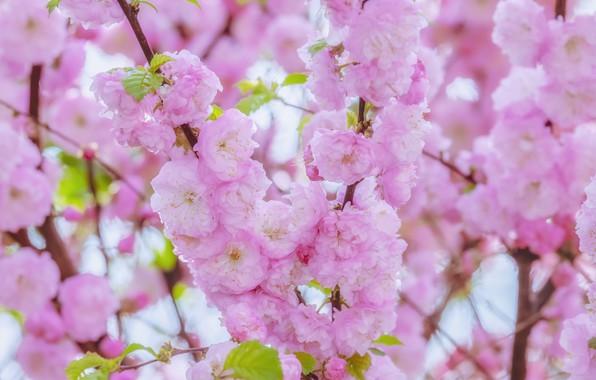 Картинка вишня, сакура, цветение, blossom, background, sakura, cherry, japanese, bloom