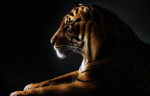 Картинка усы, тигр, лапы, tiger, paws, mustache, Pedro Jarque