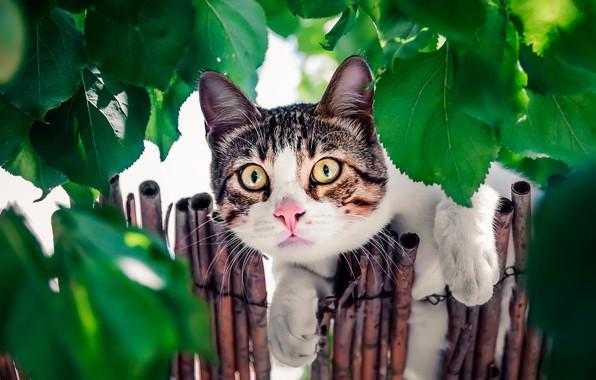 Картинка кошка, кот, взгляд, листья, забор, мордочка, котейка