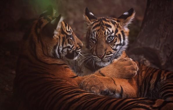 Картинка взгляд, морда, природа, тигр, поза, темный фон, дерево, отдых, портрет, лапы, пара, котята, дикие кошки, …