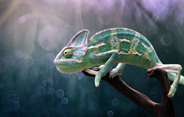 Картинка хамелеон, chameleon, Edy Pamungkas