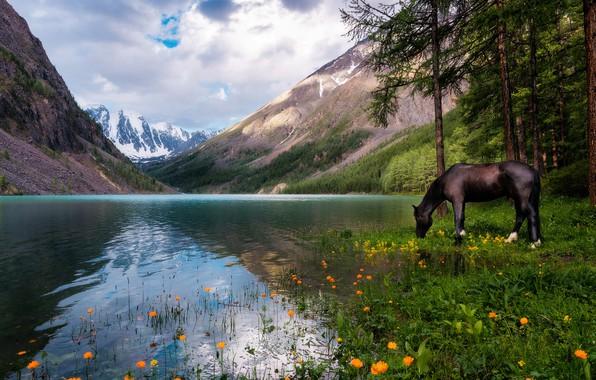 Картинка лес, небо, облака, пейзаж, цветы, горы, природа, озеро, отражение, конь, лошадь, сосны, Россия, водопой, водоем, …