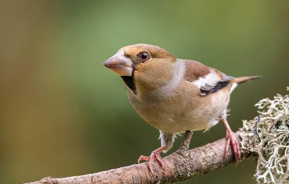 Картинка птица, ветка, дубонос