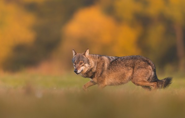 Картинка волк, wolf, Łukasz Sokół