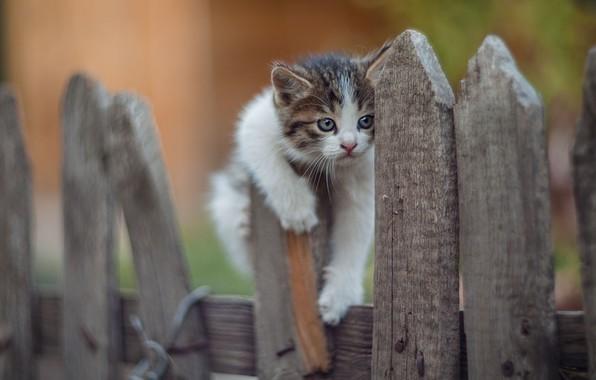 Картинка природа, животное, забор, детёныш, котёнок, Юрий Коротун