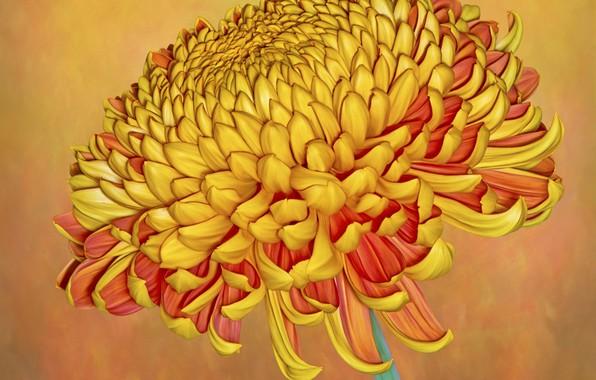 Картинка фон, хризантема, коричневый цветок