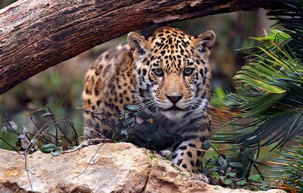 Картинка взгляд, морда, листья, природа, камни, дерево, малыш, ягуар, детеныш, дикая кошка, крадется, подросток