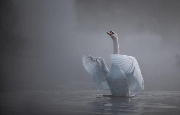 Картинка вода, туман, птица, крылья, лебедь, шея