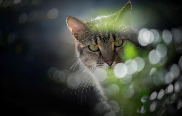Картинка кот, взгляд, блики, портрет, мордочка, котейка