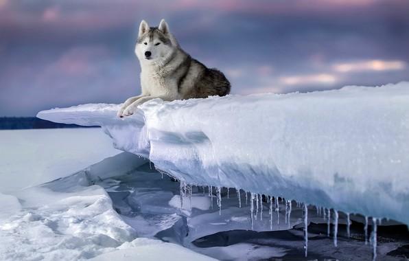 Картинка зима, снег, лёд, собака, сосульки, Хаски