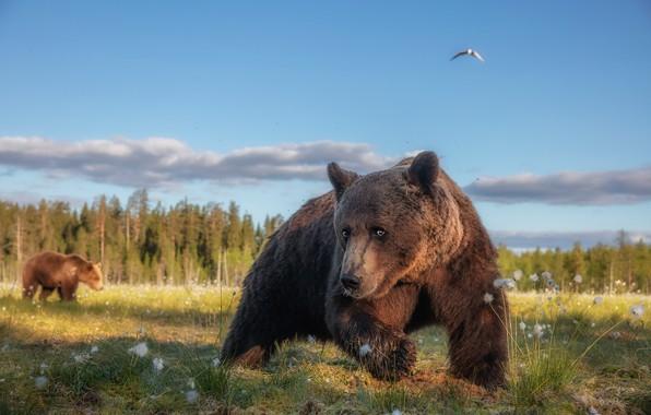 Картинка лес, лето, трава, взгляд, морда, поза, птица, лапы, медведь, медведи, мишка, прогулка, выражение, забавный, бурый, …