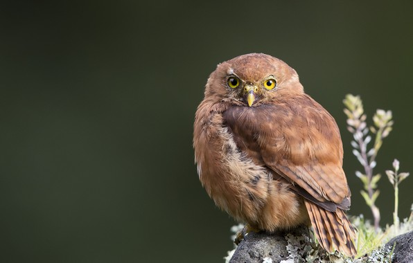 Фото обои взгляд, сова, рыжая