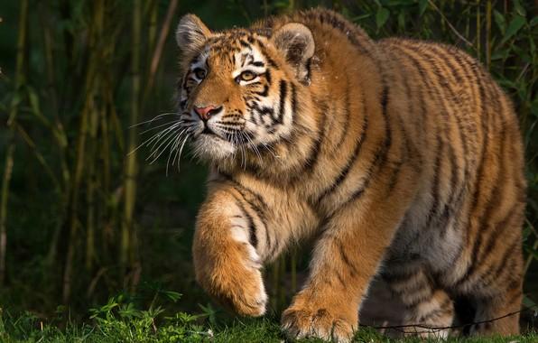 Картинка трава, взгляд, морда, листья, свет, природа, тигр, поза, заросли, лапы, прогулка, дикая кошка, зеленый фон, ...