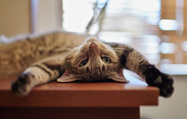 Картинка кошка, кот, релакс, лапы, мордочка, котёнок, расслабон, котейка